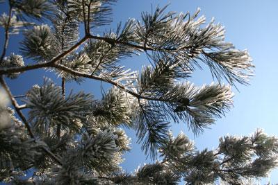 Zimowe gałązki. Fot. J. Gawryś.