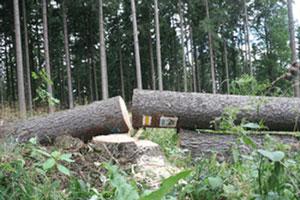 Ścięte drzewo z oznakowaniem szlaku. Fot. J. Gawryś.