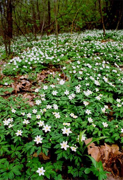 Zawilec gajowy (Anemone nemorosa) jest byliną z rodziny jaskrowatych występującą powszechnie w Polsce. Kwitnie od marca do kwietnia. Fot. Anna Gawryś.